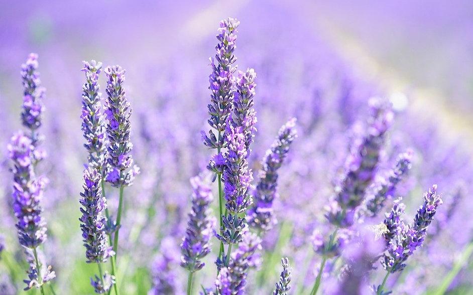 lavender-blossom-1595581_1280_edited.jpg