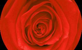 La signification de la couleur des roses éternelles
