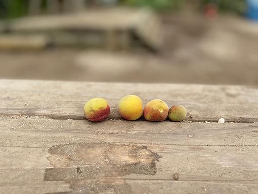 杏の木と梅の木.jpg