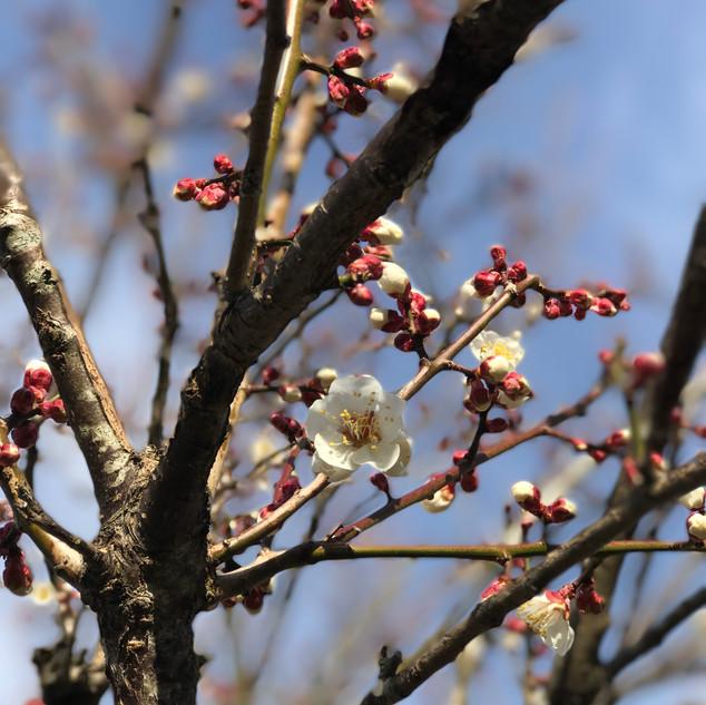 梅の花が….JPG