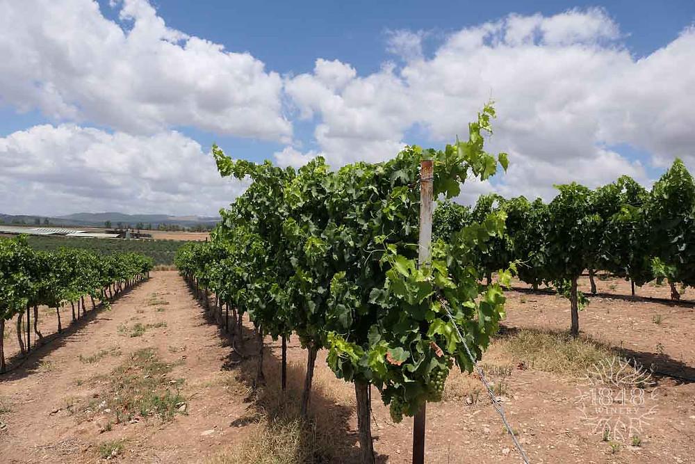 כרם יקב 1848 - The vineyard of the 1848 winery