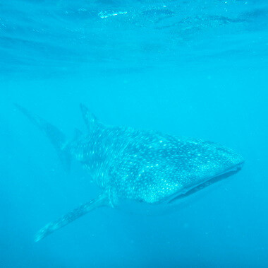 whale-shark-on-a-dolphin-and-whale-watching-tour-in-playa-garza-nosara-costa-rica-viberts-secret-spot