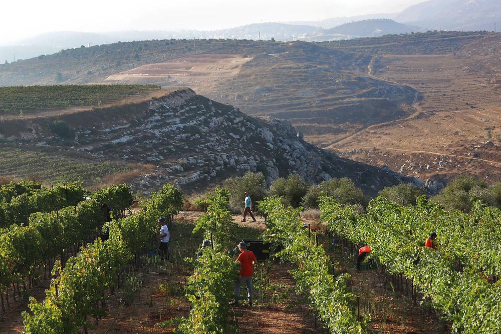 Givat Hare, Samaria- דוד סילברמן, יקב גבעות יקב כשר Kosher Winery
