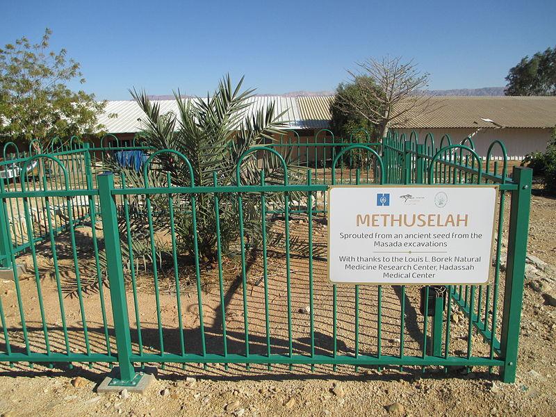 The 2,000-year-old date palm, Methuselah, on Kibbutz Ketura