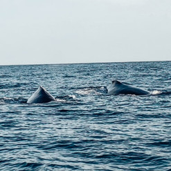 humpback-whale-on-a-dolphin-and-whale-wa