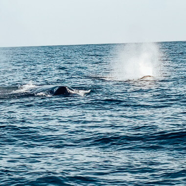 humpback-whale-on-a-dolphin-and-whale-watching-tour-in-playa-garza-nosara-costa-rica-viberts-secret-spot