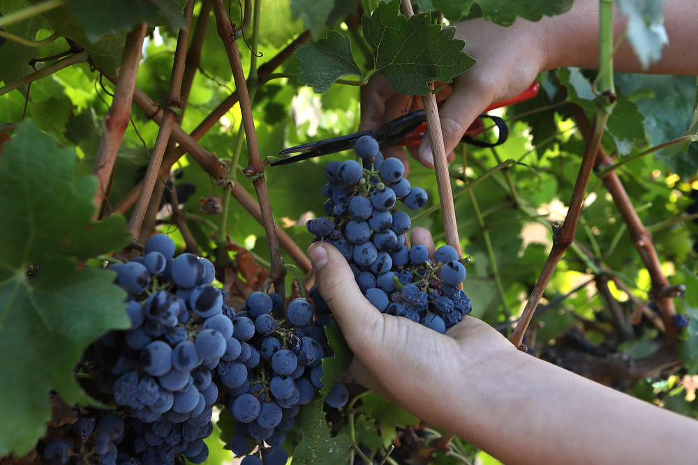 Gvaot Winery a Kosher Winery - Grape harvest in the Holy Land