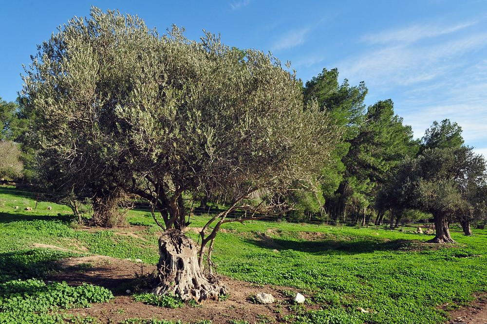 trees in Israel