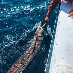 catch-and-release-sailfish-on-a-fishing-trip-in-playa-garza-nosara-costa-rica-viberts-secret-spot
