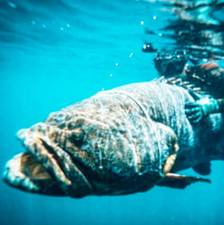 spearfishing-mero-in-playa-garza-nosara-costa-rica-viberts-secret-spot