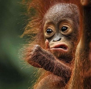 This is a somewhat comical photo of a baby orangutan with thumbs up and a grin, symbolizing a satisfied customer.