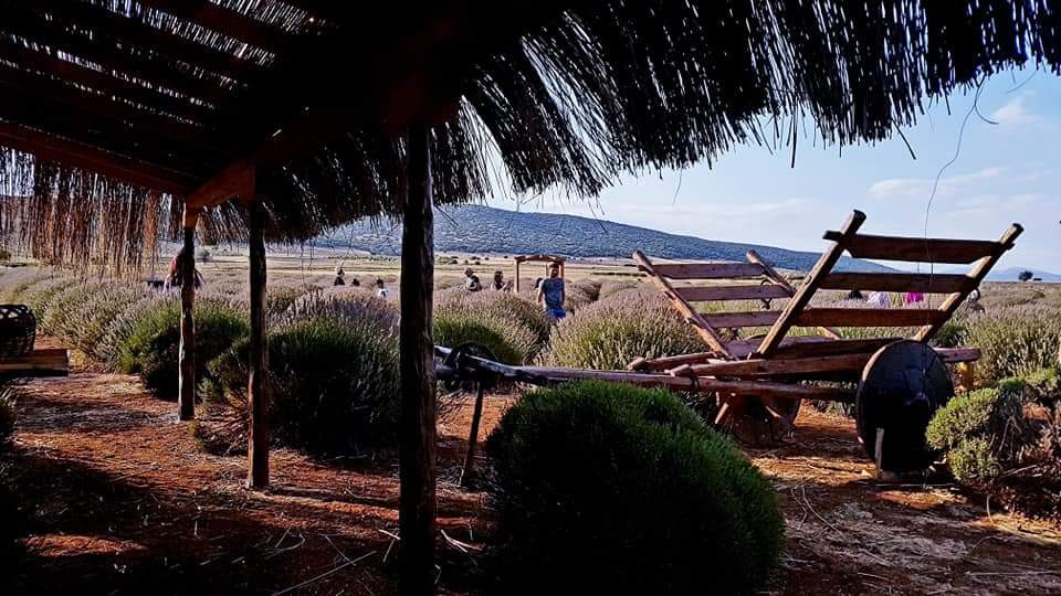 Lavender harvest tour in Isparta