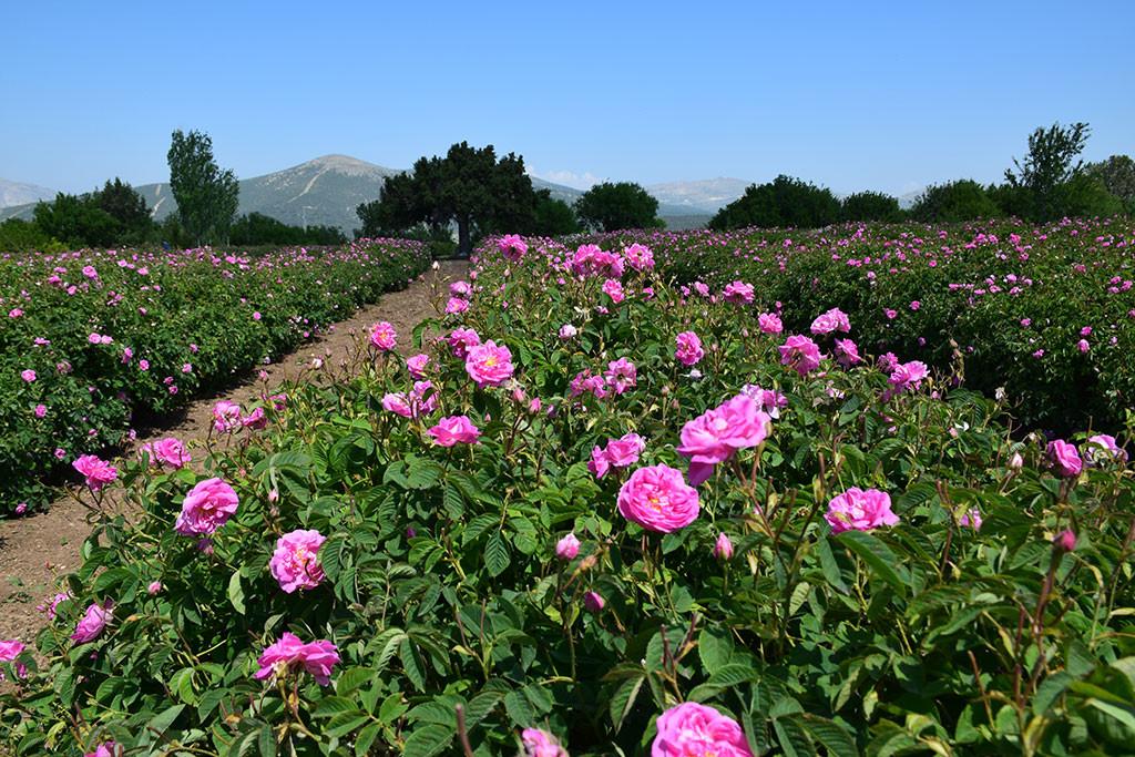 Rose harvest tour in Isparta