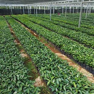 Coffee plant nurseries in Indonesia.jpg