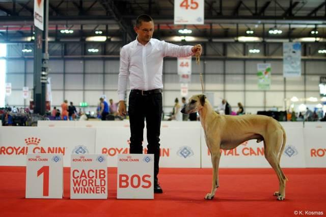 Sloughi Dahab Sabiih al Sahra WORLD WINNER 2015