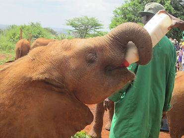 baby elephant orphan drinking milk