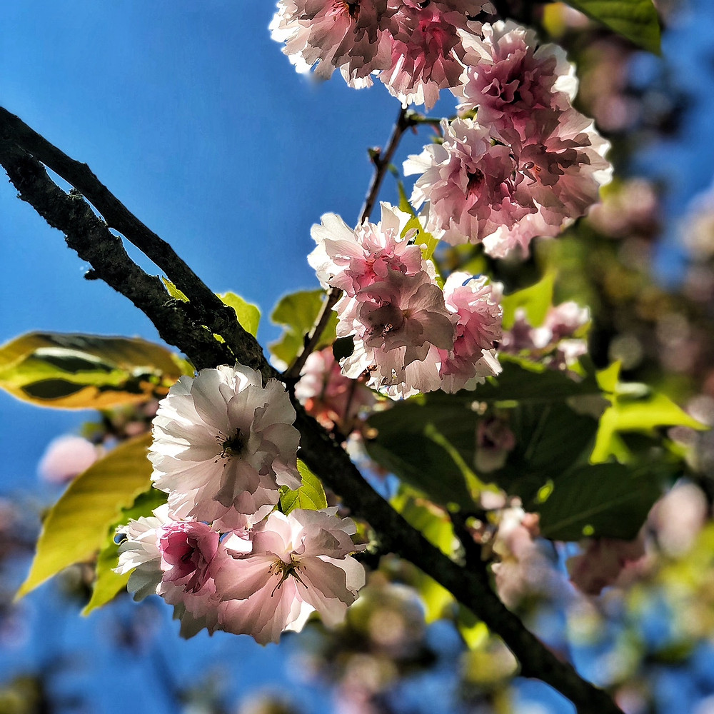 #japanisches #Kirschblütenfest #Berlin
