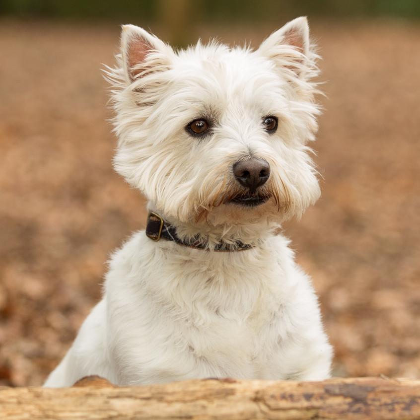 Dog Portrait Box Hill