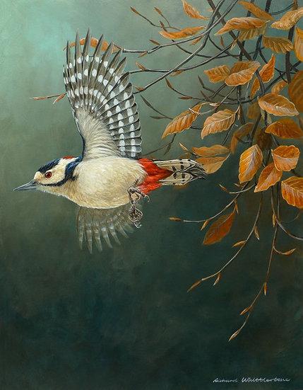 Great Spotted Woodpecker Bird Print by Wildlife Artist Richard Whittlestone