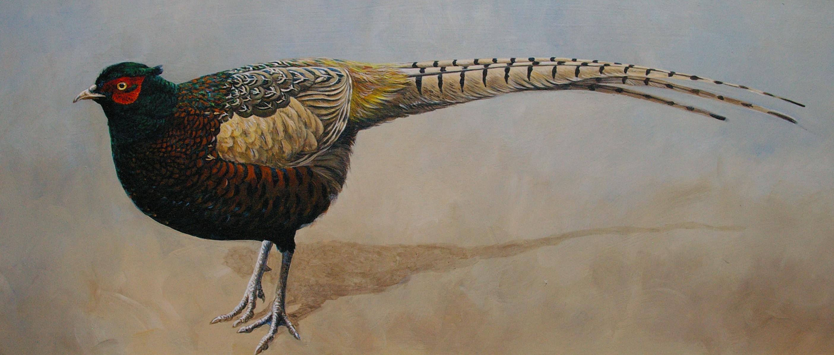 Melanistic Pheasant