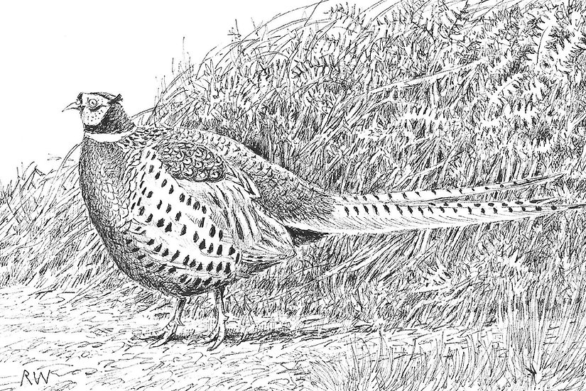 Pheasant Drawing by Wildlife Artist Richard Whittlestone