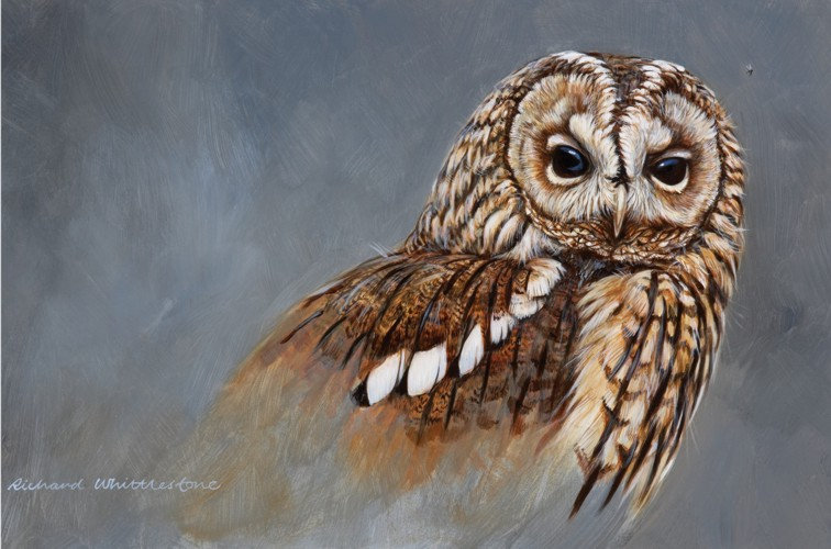 Tawny Owl Portrait Bird Print by Wildlife Artist Richard Whittlestone