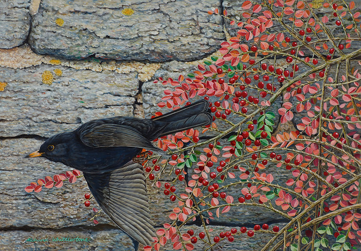 Blackbird and Cotoneaster