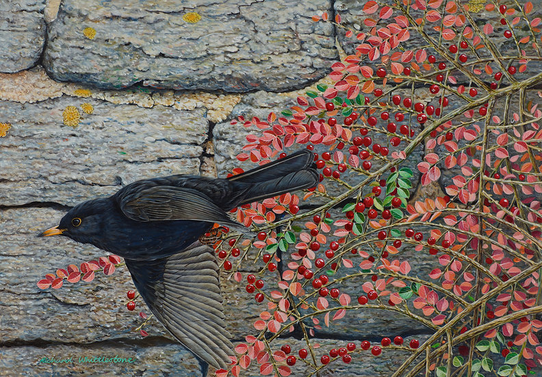 Blackbird and Cotoneaster
