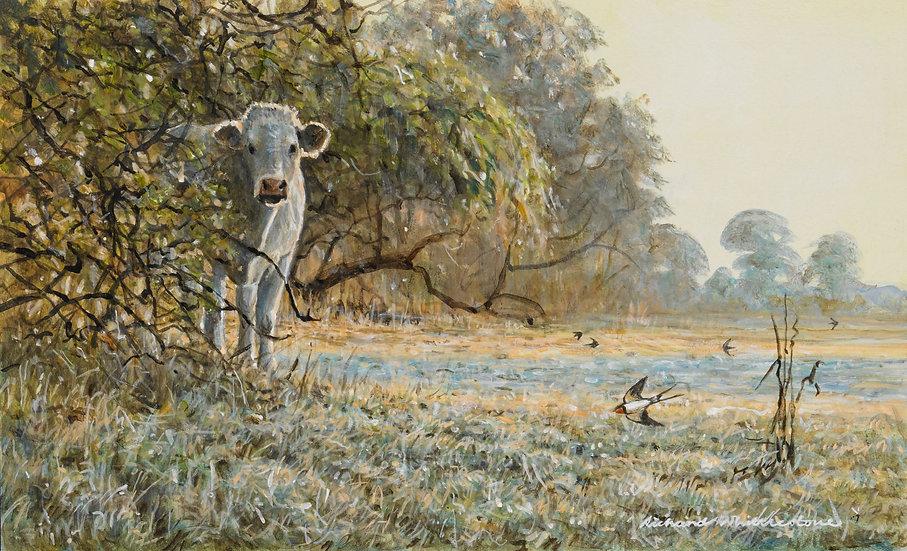 Wildlife Greetings Cards by Artist Richard Whittlestone (August Charolais))