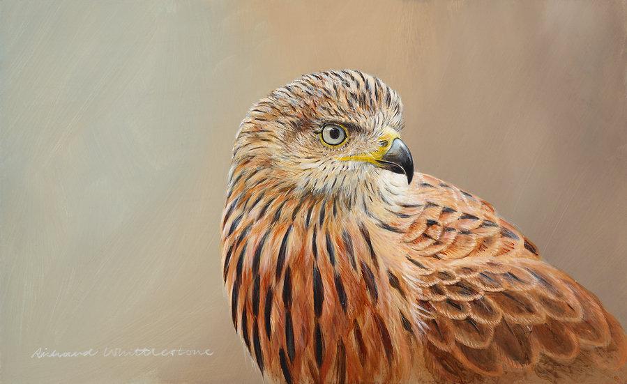 Red Kite Portrait