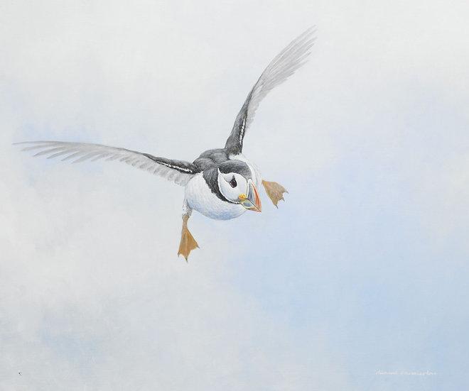 Incoming Puffin Bird Print by Wildlife Artist Richard Whittlestone