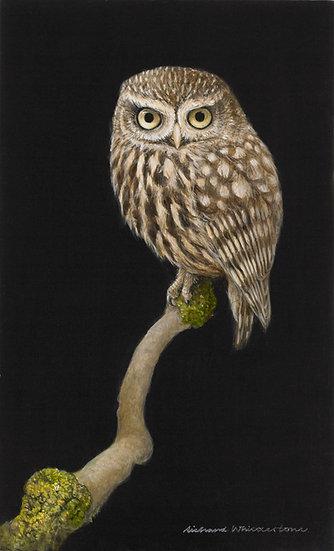 Little Owl Bird Print by Wildlife Artist Richard Whittlestone