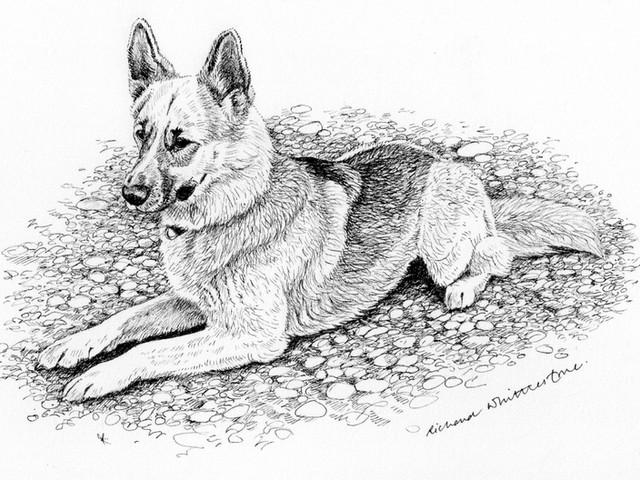 Richard-Whittlestone-Drawings-German-Shepherd