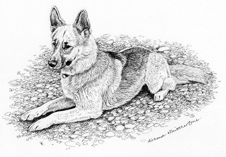 German Shepherd Dog Drawing by Wildlife Artist Richard Whittlestone