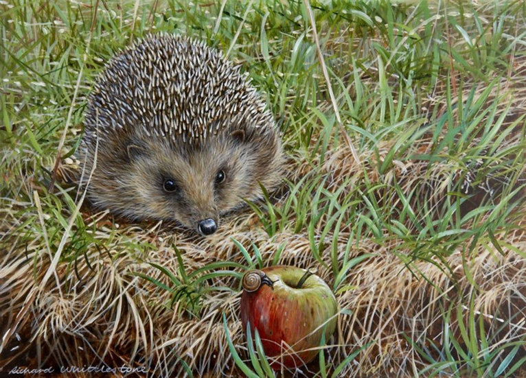 Spoilt for Choice Hedgehog Print by Wildlife Artist Richard Whittlestone
