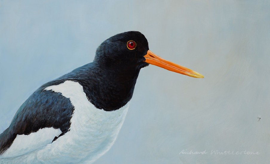 Oystercatcher Bird Painting by Wildlife Artist Richard Whittlestone