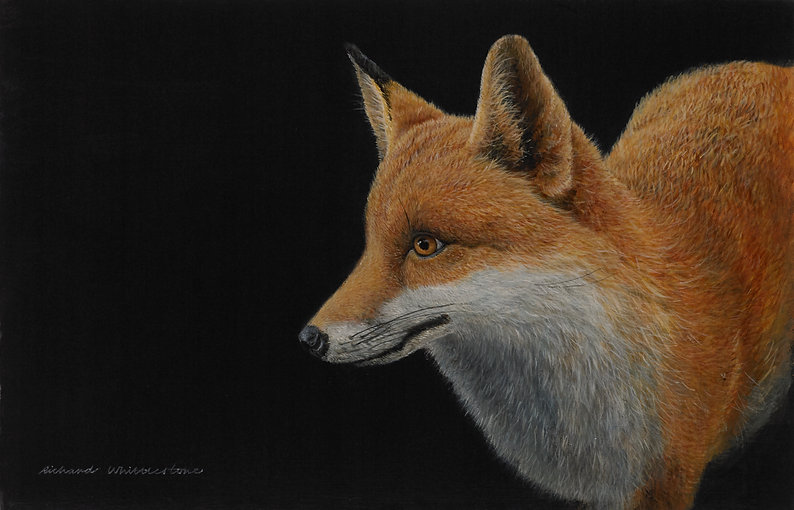 Portrait of a Fox RW2584P