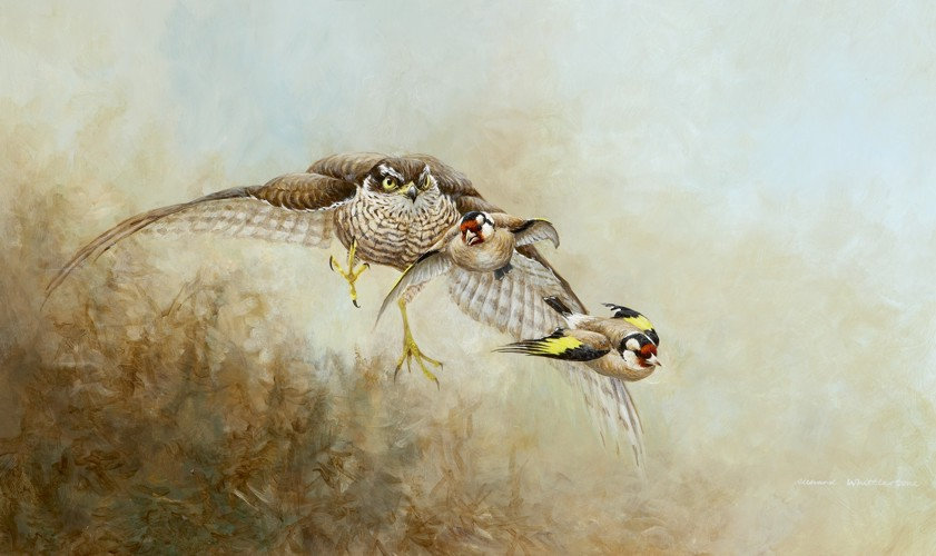 Claws Out Bird Print by Wildlife Artist Richard Whittlestone