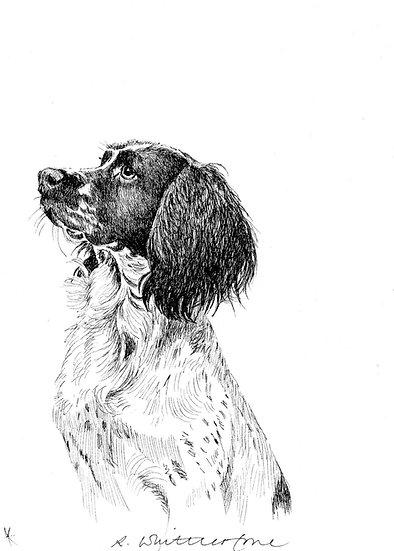 Springer Spaniel Drawing by Wildlife Artist Richard Whittlestone