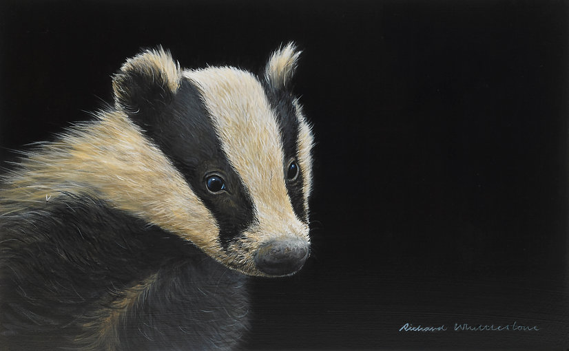 Badger Cub Portrait
