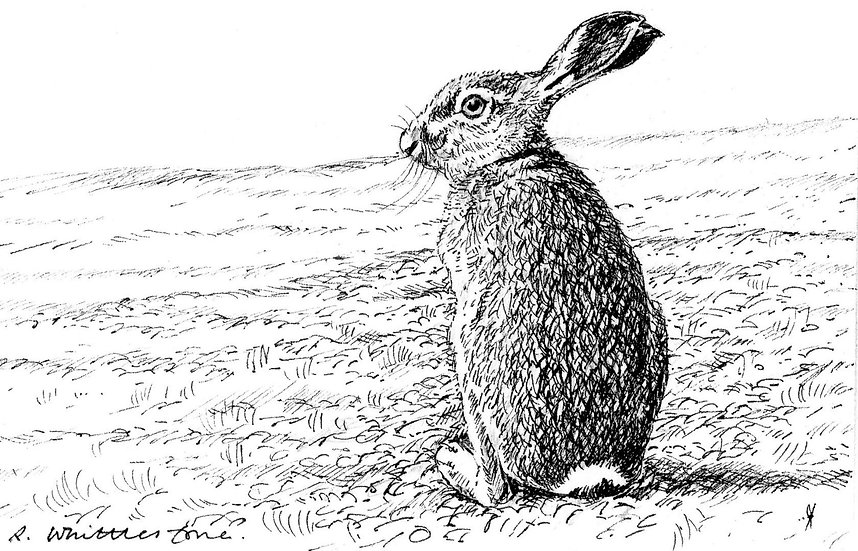 Brown Hare Drawing by Wildlife Artist Richard Whittlestone