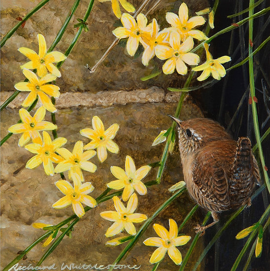 Wren Winter Jasmine Print by Wildlife Artist Richard Whittlestone