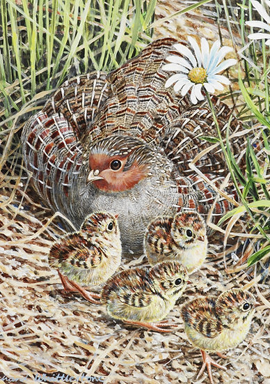 Partridge and Chicks