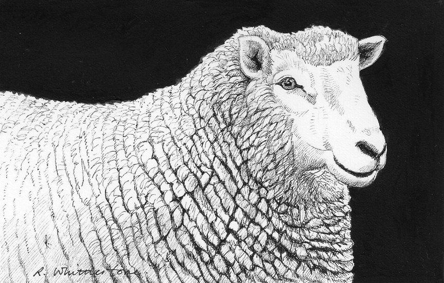 Happy Ewe Drawing by Wildlife Artist Richard Whittlestone