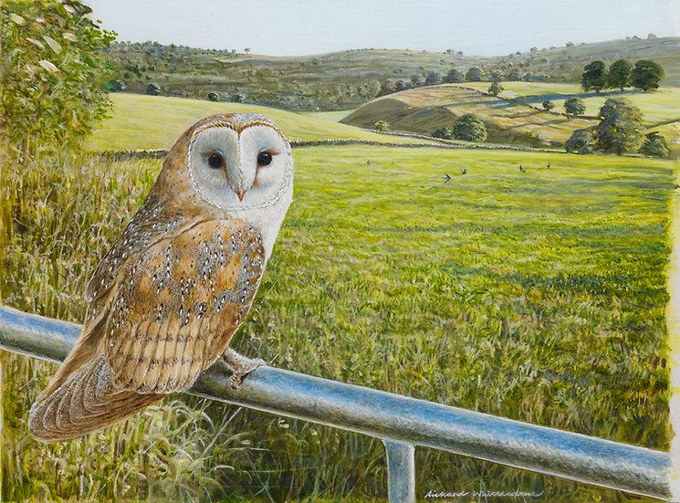 Barn Owl Summer Morning Bird Painting by Wildlife Artist Richard Whittlestone