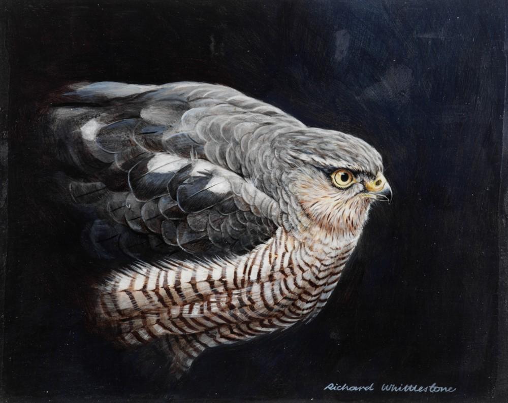 Sparrow Hawk Portrait