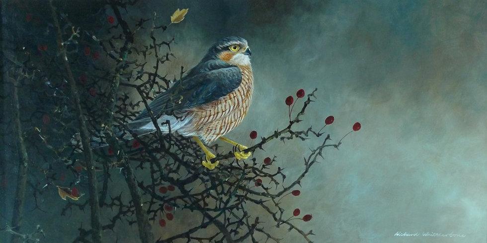 Winter Sparrowhawk Bird Print by Wildlife Artist Richard Whittlestone