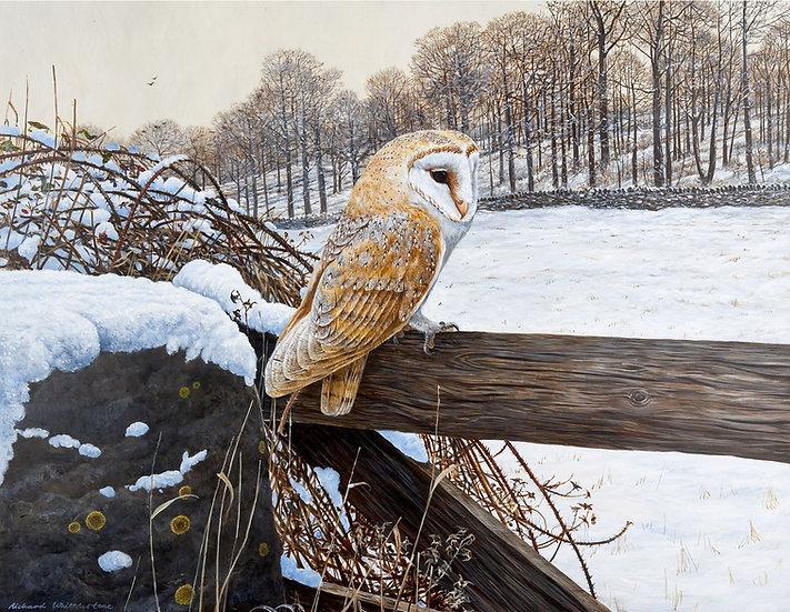 Quiet Contemplation Barn Owl Print by Wildlife Artist Richard Whittlestone