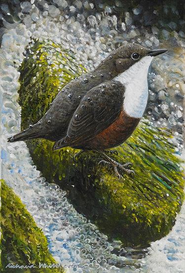 Dipper Bird Print by Wildlife Artist Richard Whittlestone
