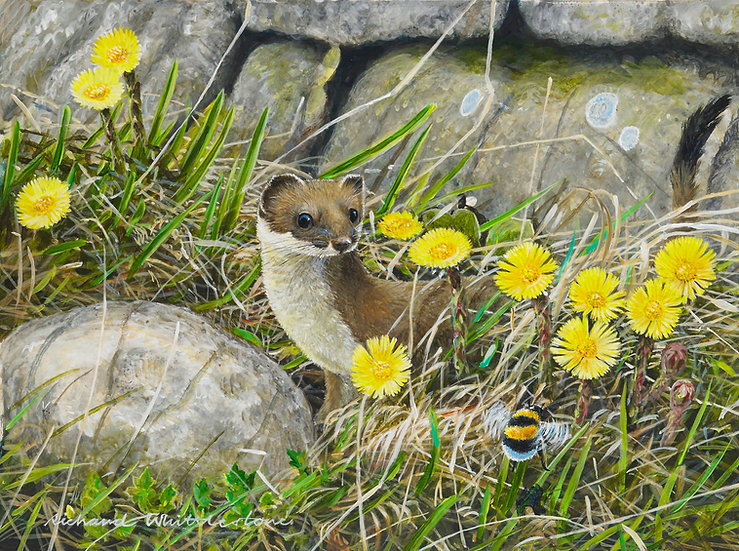Stoat and Coltsfoot